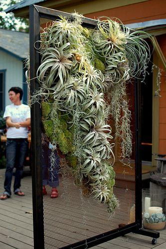 Air Plants On Display Gardens Ideas Hanging Air Plants Plants