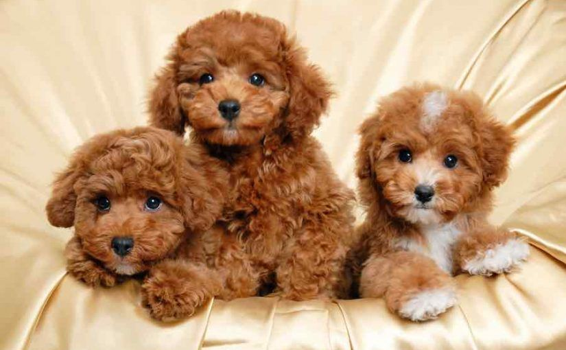 How To Pick The Best Puppy Pick Of The Litter Choosing Puppies