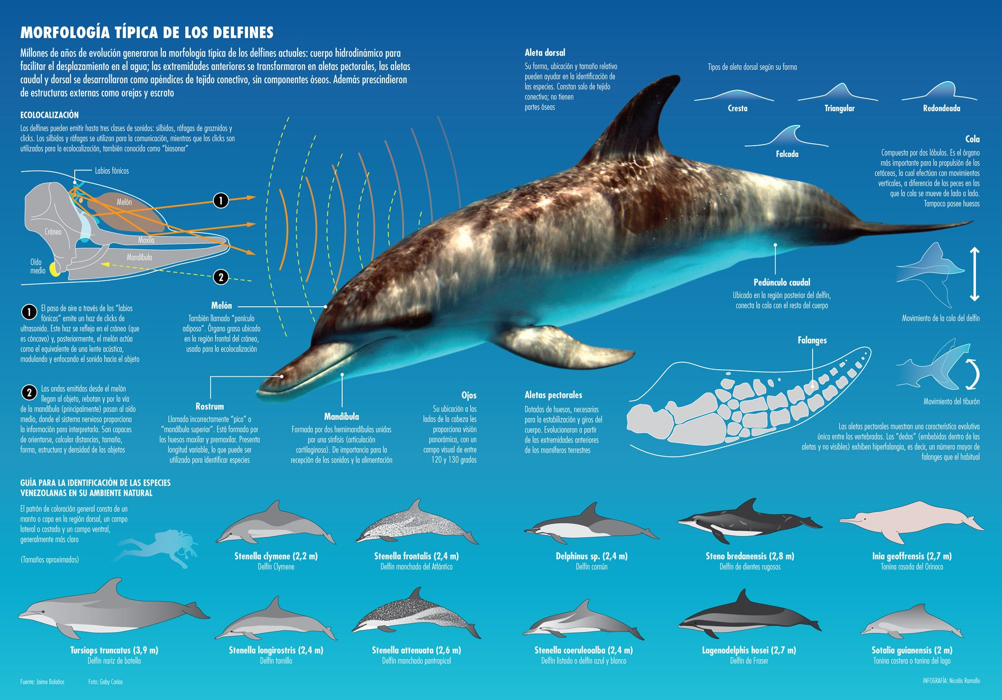 Morfología De Los Delfines Visual Ly Fish Infographic Science And Nature Animal Illustration