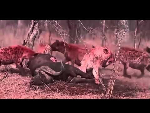 Documentary filmmaking Lion Vs Hyena, Cheetah Vs Hyena , Leopard vs