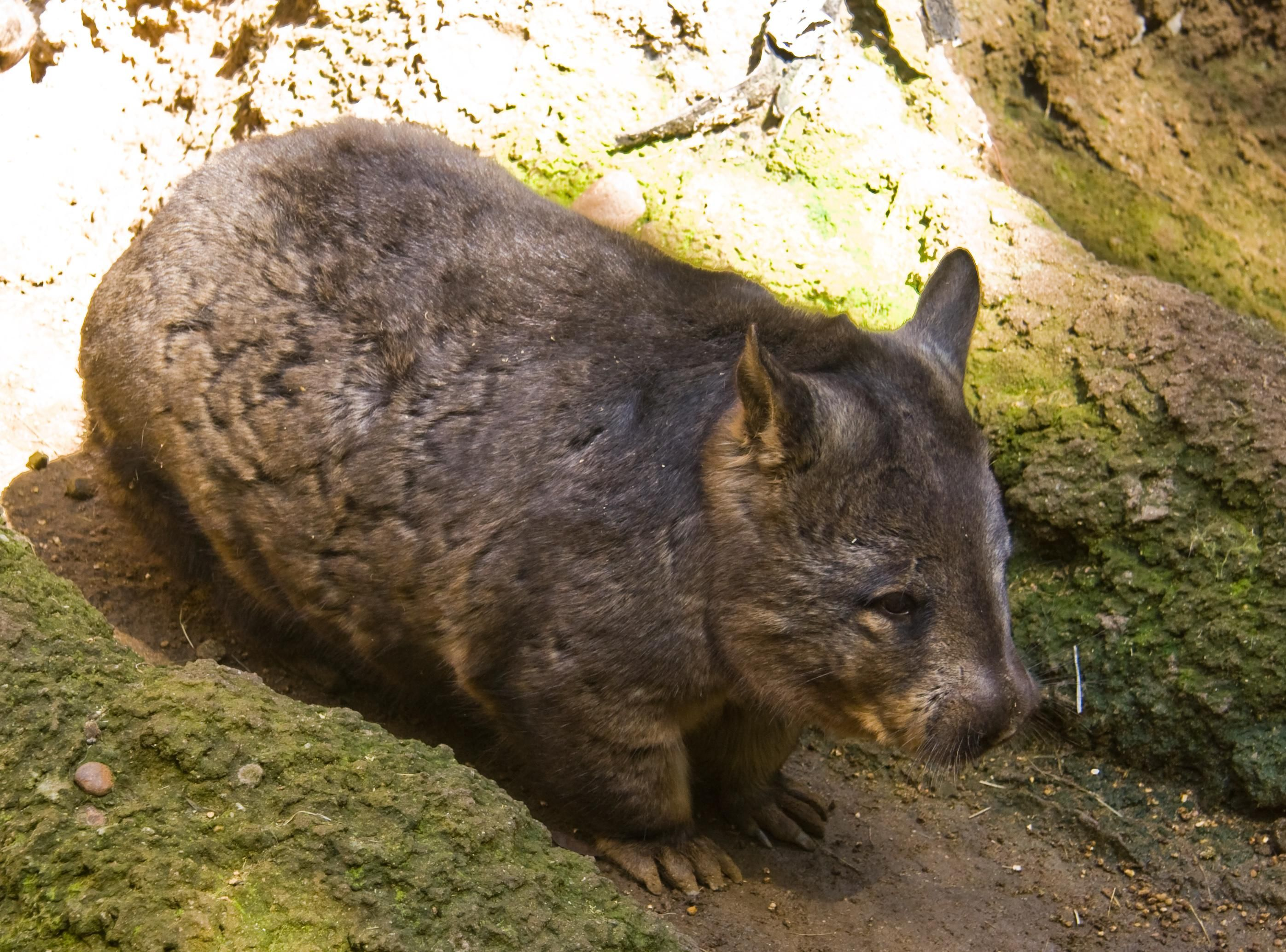 A northern hairy-nosed wombat http://ift.tt/2lCvuPB