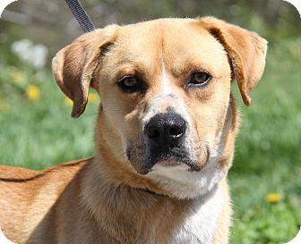Marietta Oh Boxer Labrador Retriever Mix Meet Rex A Dog For