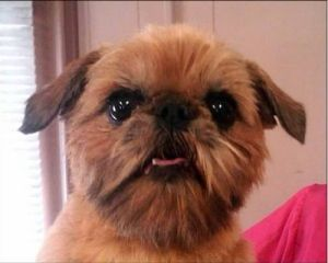 Abby Wichita Ks Is An Adoptable Brussels Griffon Dog In Wichita