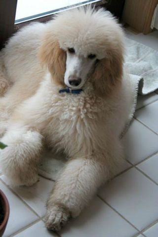 Standard Poodle Puppies Ckc Reg Have Just Arrived Dogs Puppies