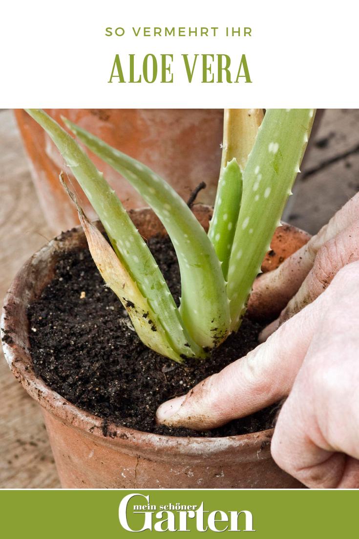 Aloe vera erfolgreich vermehren #orchideenpflege