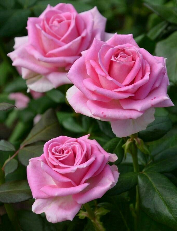 Pink Flowers Must Be Some Of The Most Popular On Planet We Have Rounded Up The Most Popular Varieties Of Pink Flow Rose Flower Pink Flowers Beautiful Flowers