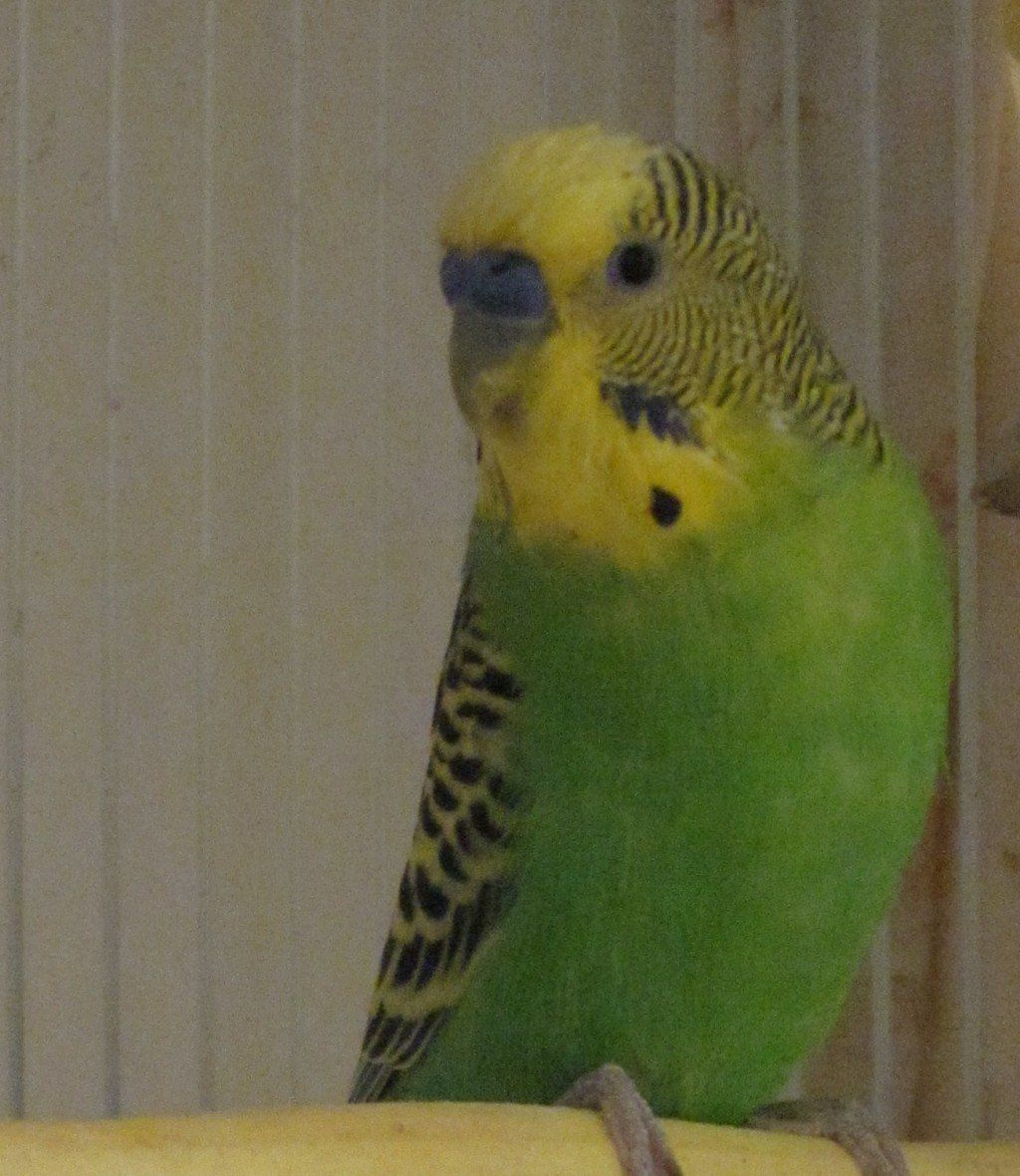 Tips For Caring For Your First Pet Budgie Parakeet Budgie