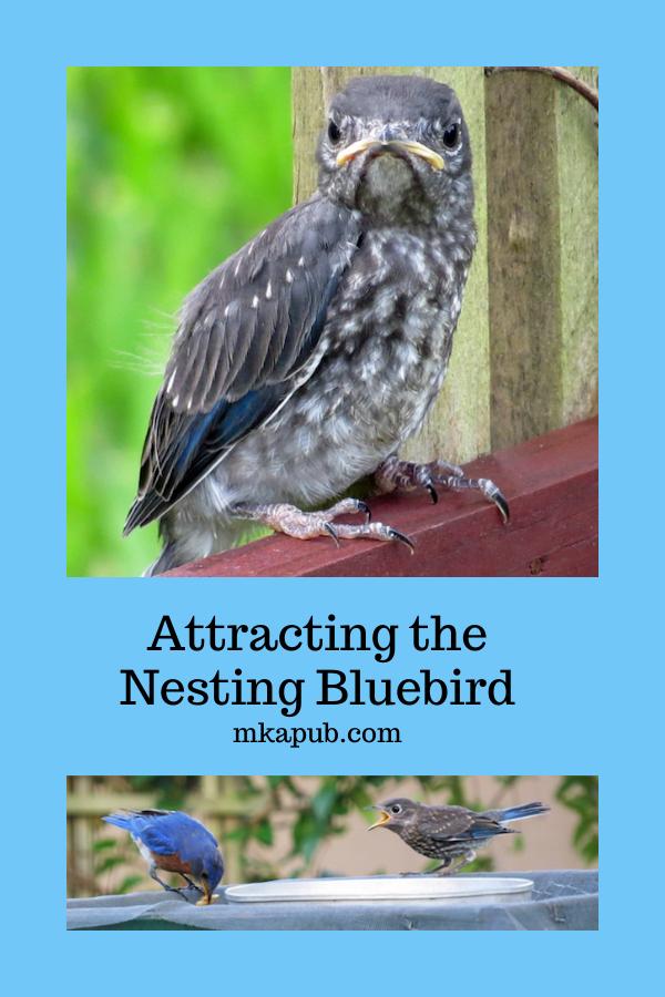 Attracting The Nesting Bluebird   Blue bird, Backyard ...