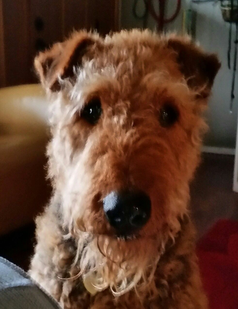 You going to eat all of that? Airedale terrier, Terrier