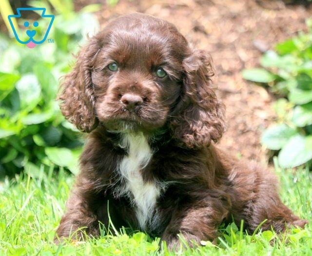 Cocker Spaniel Puppies For Sale Puppy Adoption