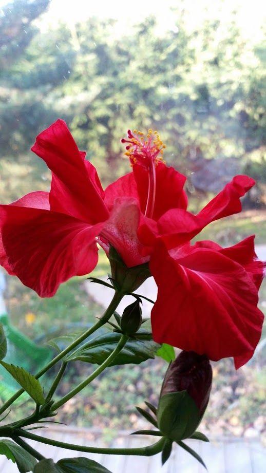 Kiinanruusuni