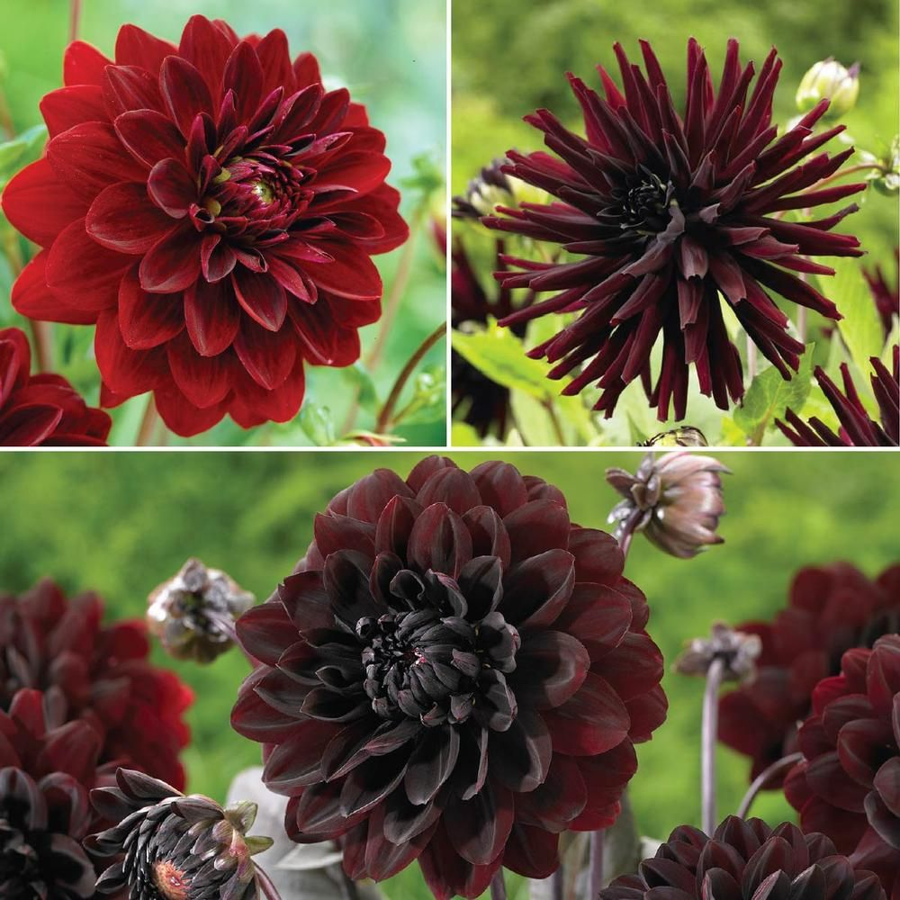 Burgundy Dahlia Collection. Dark-hued flowers give gardens