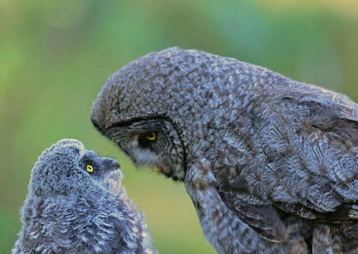 Great pic of an Owl and her owlet...a teaching moment