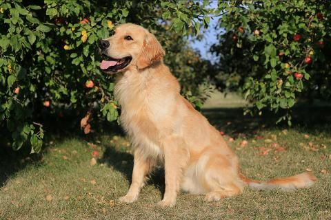 Golden Retriever Breeder Golden Puppies For Sale Wisconsin