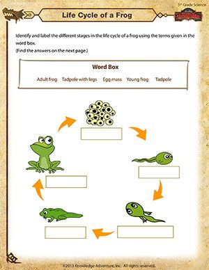 Frog Worksheet Life Cycle Of A Frog Science Worksheets Life