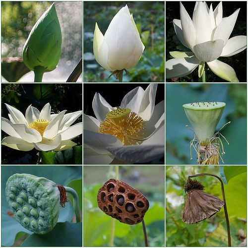The Lifecycle Of A Lotus Blossom By Gail S Via Flickr Inspiration