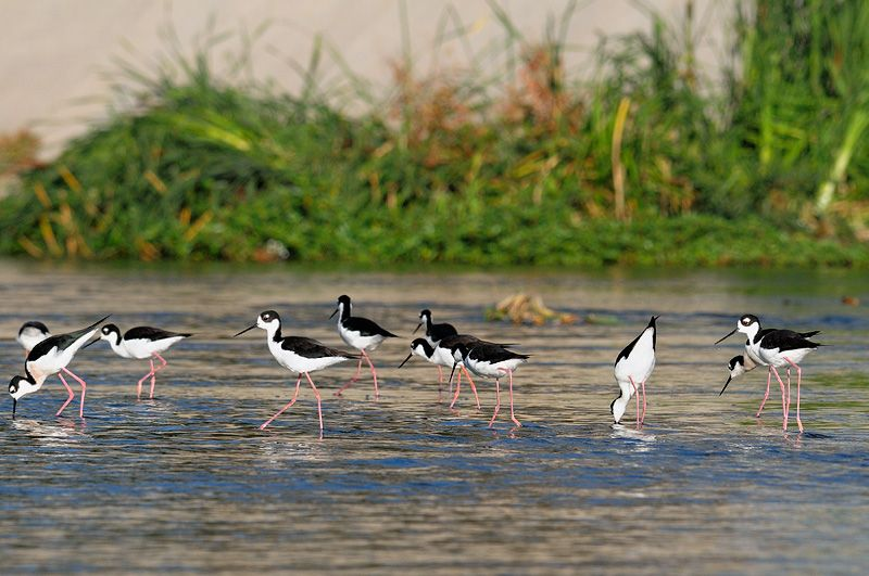 Black-necked Stilts foraging along the L.A. River