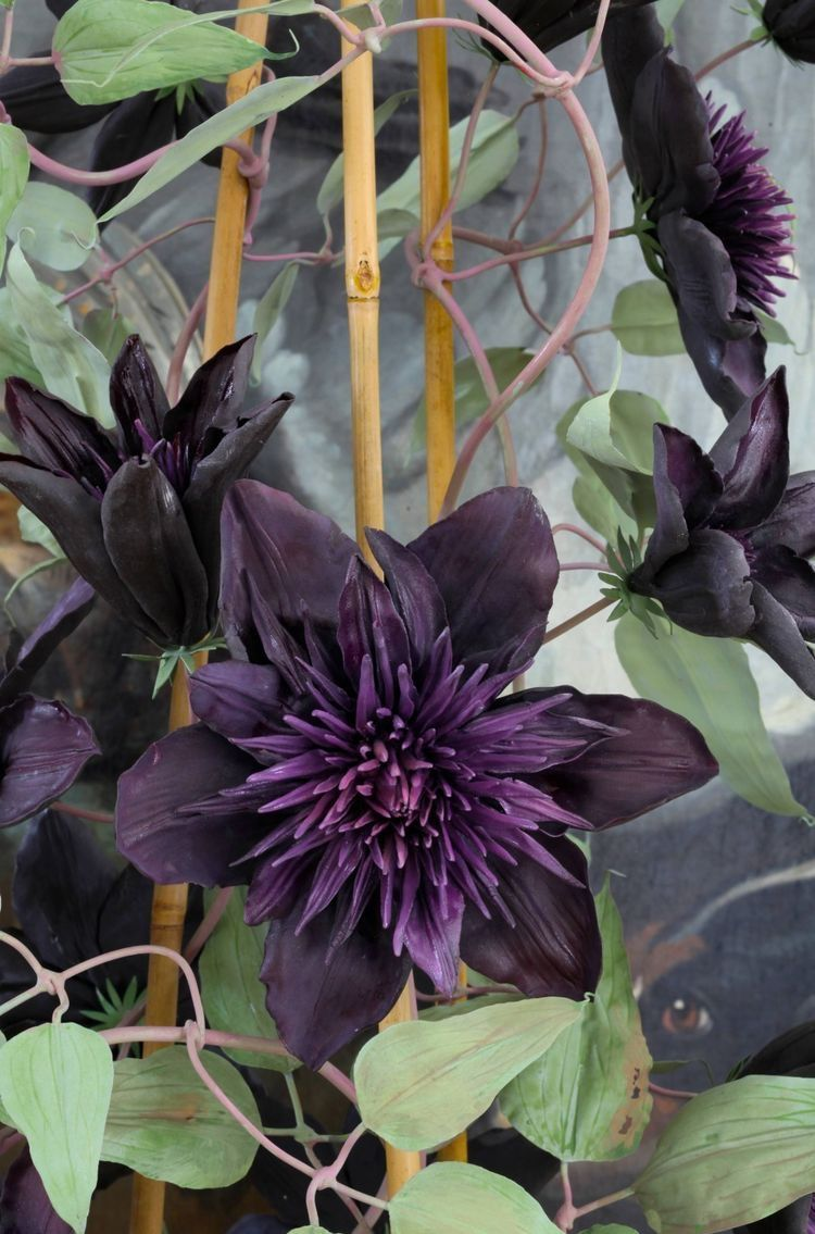 Idea by Dlo jan on gol Clematis flower, Clematis plants