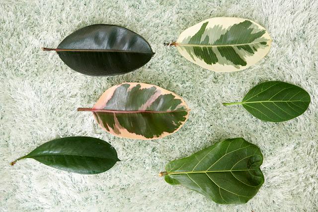 Presta Mucha Atención Los Ficus De Hoja Ancha Mejoran Tu Salud Jardinagem Paisagismo