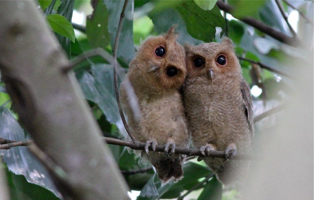 #OWLS   Spotted Wood Owl (Strix seloputo) mother & child