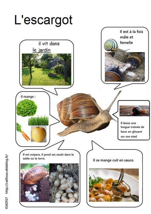 Notre levage d 39 escargots escargot escargot maternelle elevage escargot et documentaire animaux - Escargot maternelle ...