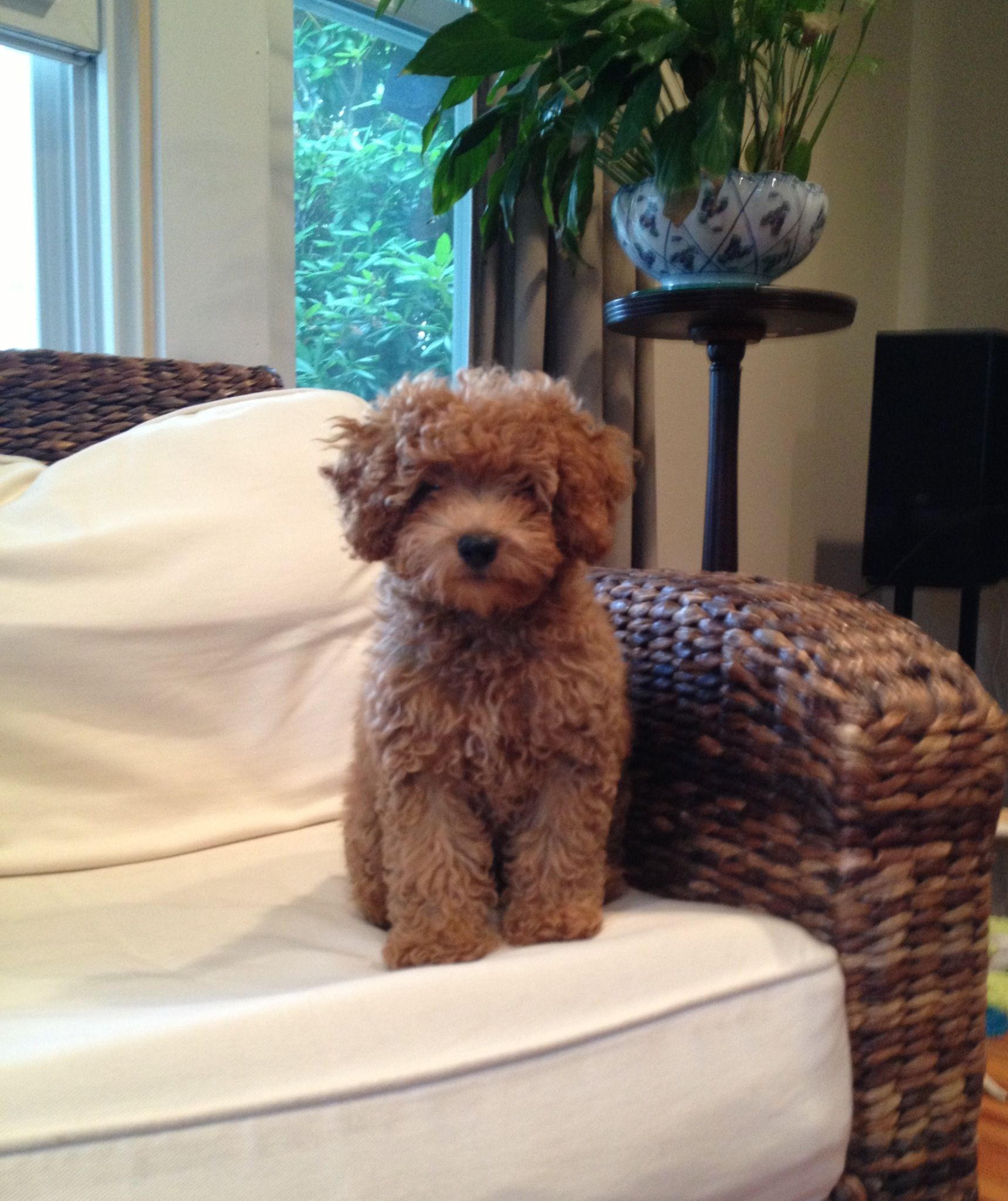 Cavapoo Annabelle I got her from