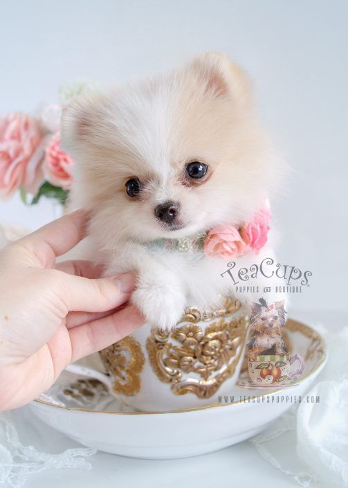 Gorgeous White Pomeranian Puppy Www Teacupspuppies Com Teacup Puppies Pomeranian Puppy Pomeranian Dog