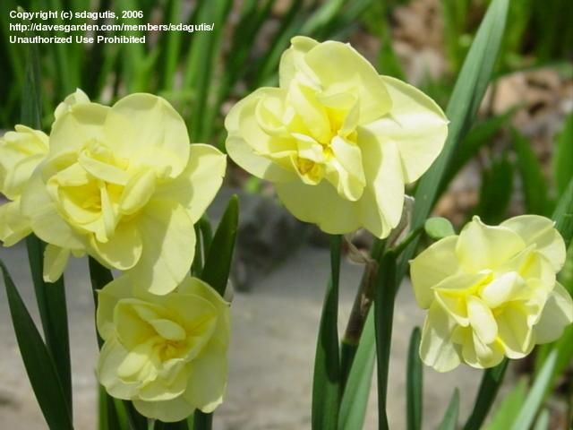 Plantfiles Picture 4 Of Double Narcissus Double Daffodil Yellow Cheerfulnes Best Smelling Flowers Smelling Flowers Narcissus