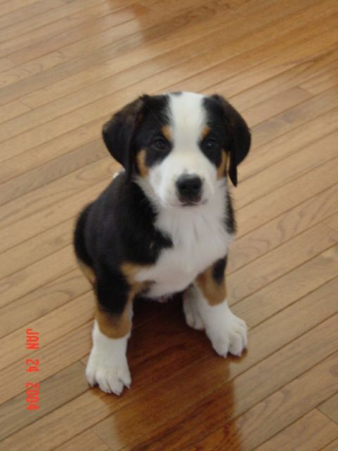 Community Greater Swiss Mountain Dog Swiss Mountain Dogs Mountain Dogs