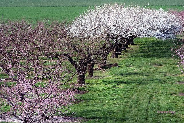 Cerisier en fleurs | Flickr - Photo Sharing!