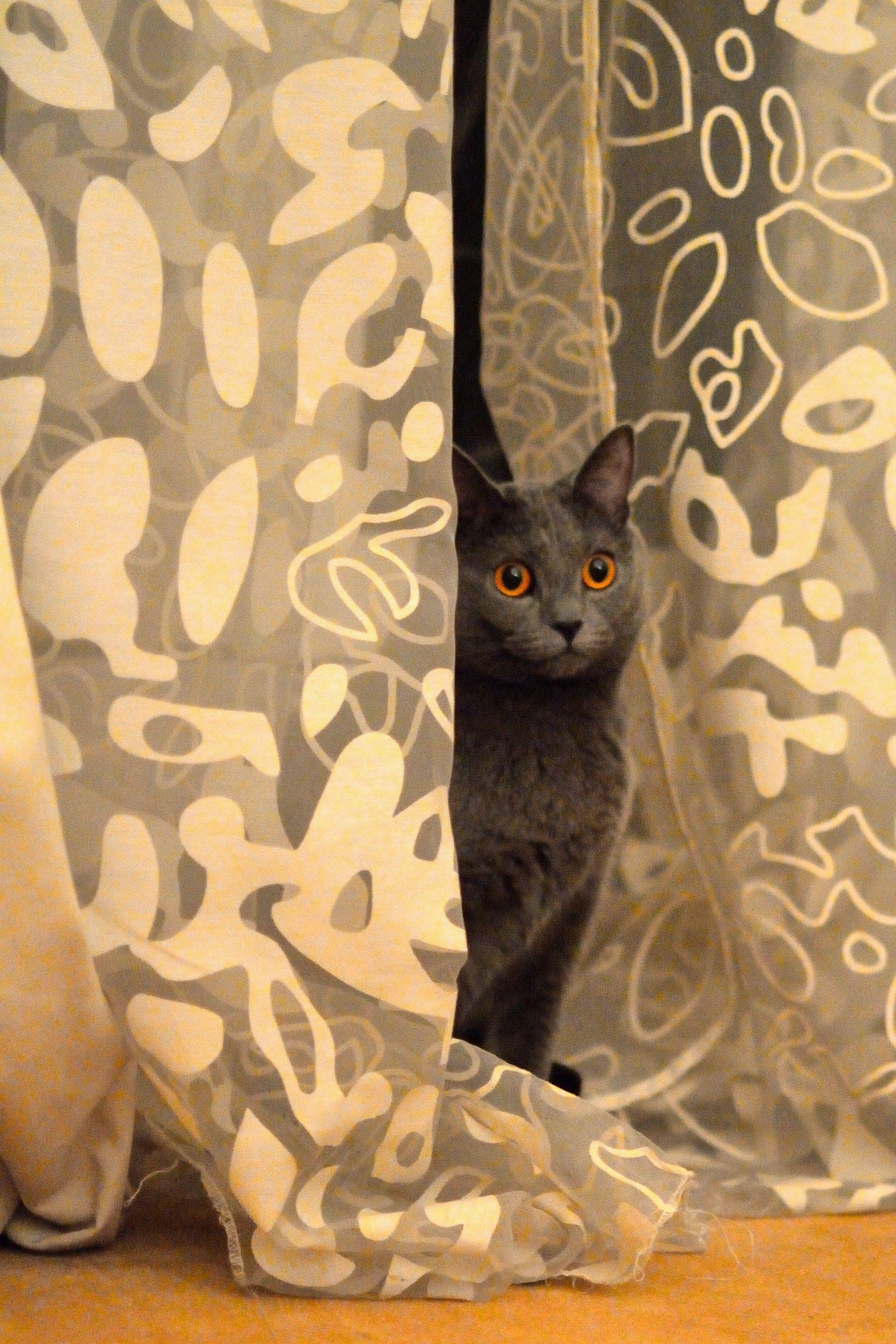 Charlotte, the Parisien cat.