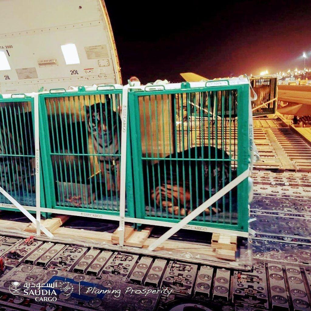 بالصور وصول شحنة من النمور إلى أرض المملكة للمشاركة في موسم الرياض Box Fan Home Decor Decor