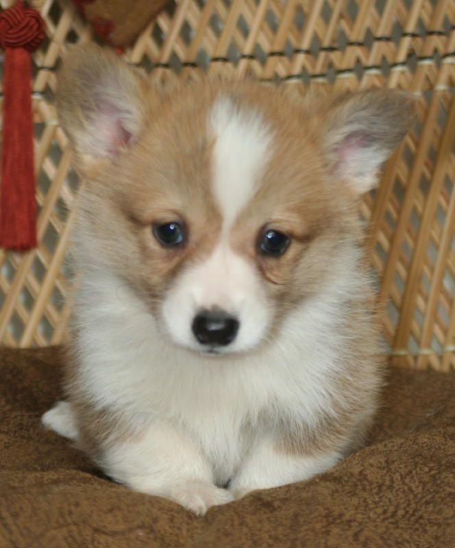 Noble Hearts Pembroke Welsh Corgi Breeder Puppies For Sale Corgi Puppies For Sale Corgi Corgi Dog