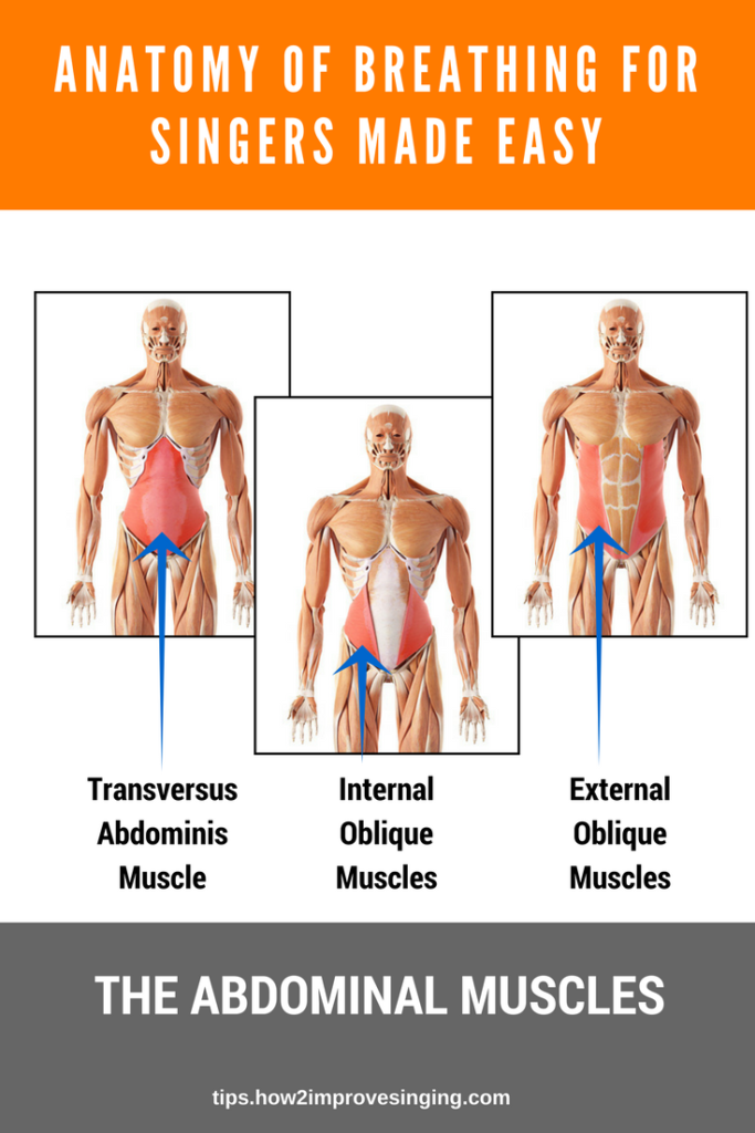 Abdominal Muscles Anatomy For Singers Made Easy Muscleanatomy