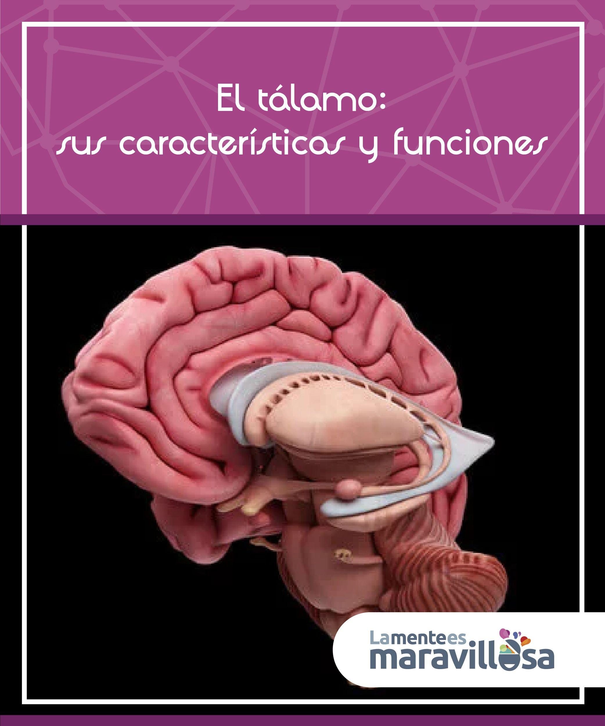 El #tálamo es una estructura de forma ovalada que constituye la porción  dorsal del #diencéfalo. Transmite #aferencias sensitivas a las zonas  sensitivas ...