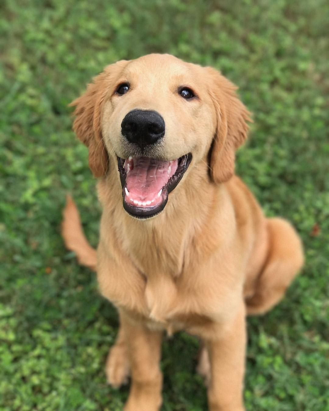 Hurley The Golden Retriever Golden Retriever Golden Retriever Puppy
