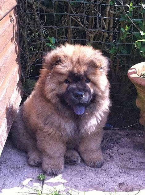 Best German Shepherd Chubby Adorable Dog - 8b42c3a155b51d86af628916f635f499  Collection_2661  .jpg
