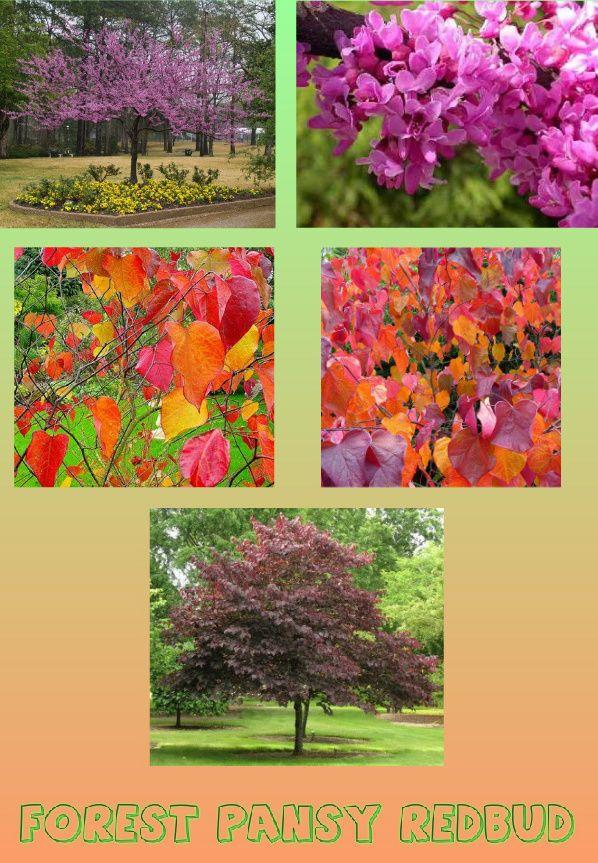 Landscaping Raleigh Nc Redbud Tree Ornamental Trees
