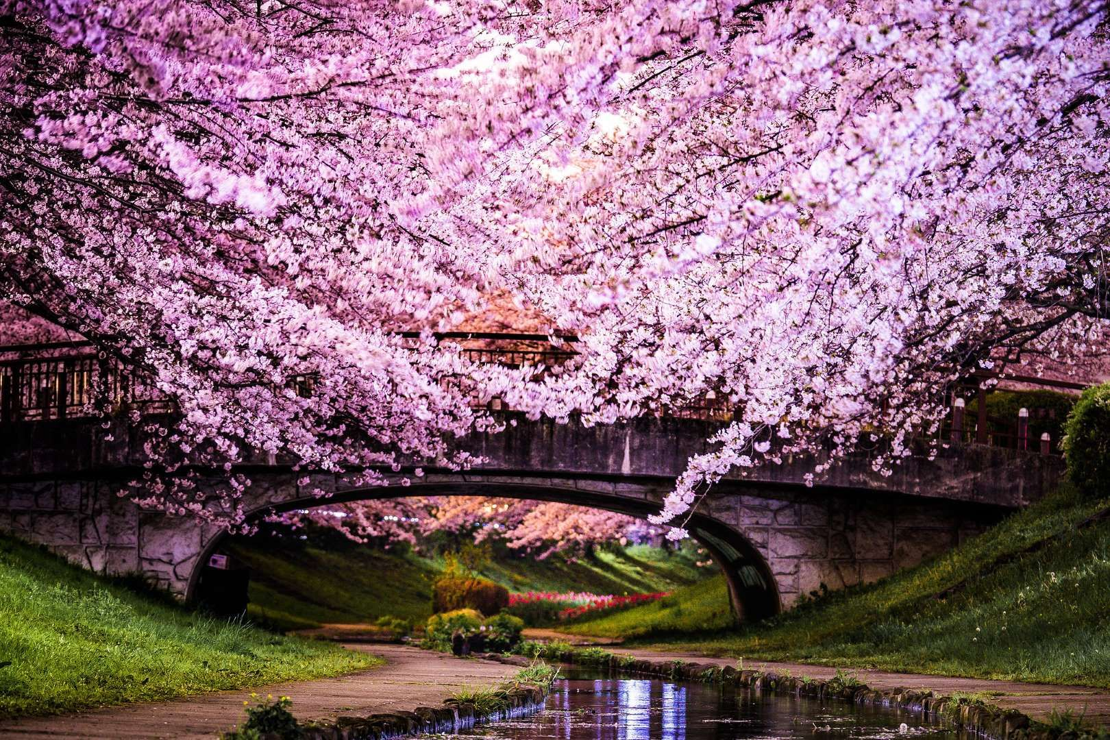 8 Jaw Dropping Trees Around The World Cherry Blossom Japan Blossom Trees Cherry Blossom Tree