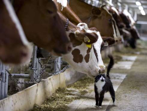 Dairy cows nuzzle a barn cat as they wait to be milked at a farm in Granby, Quebec July 26, 2015. Pa... - CHRISTINNE MUSCHI/Newscom/Reuters