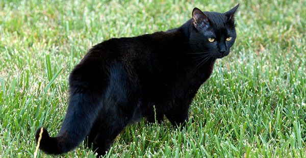 black american shorthair cats with yellow eyes | Cat ...
