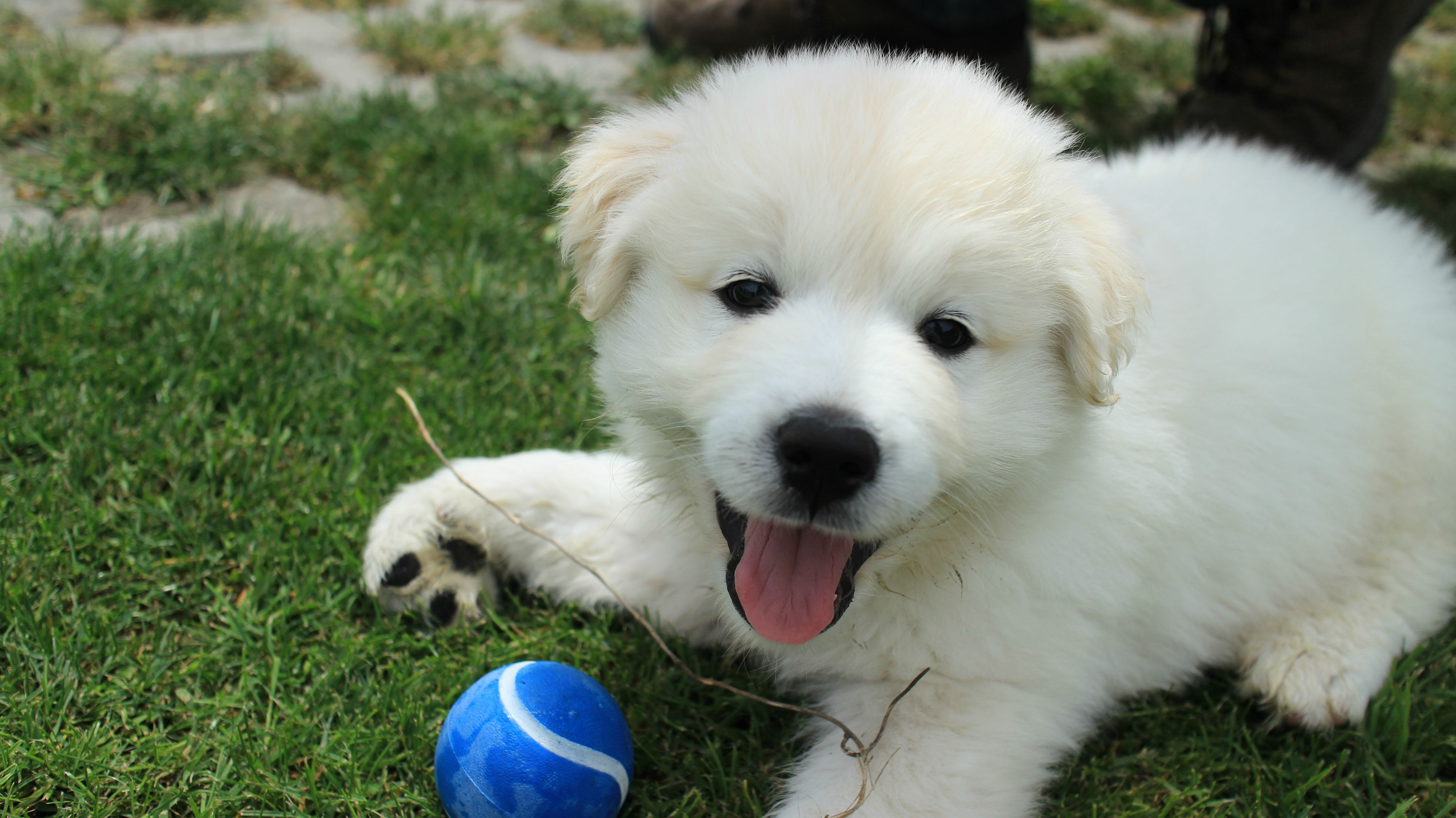 Golden Retriever Samoyed Cross Perfect Puppy Retriever