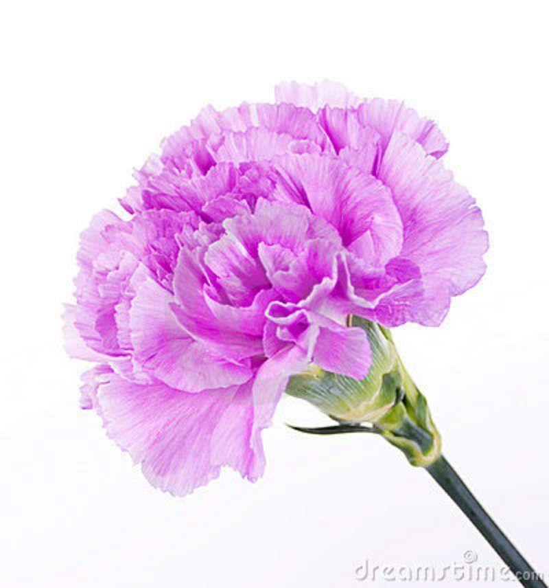 Beautiful Purple Carnation Carnation Flower January Birth Flowers Purple Carnations