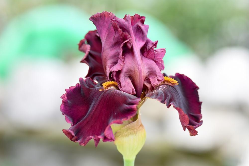 Photo of Tall Bearded Iris (Iris 'Call to Danger