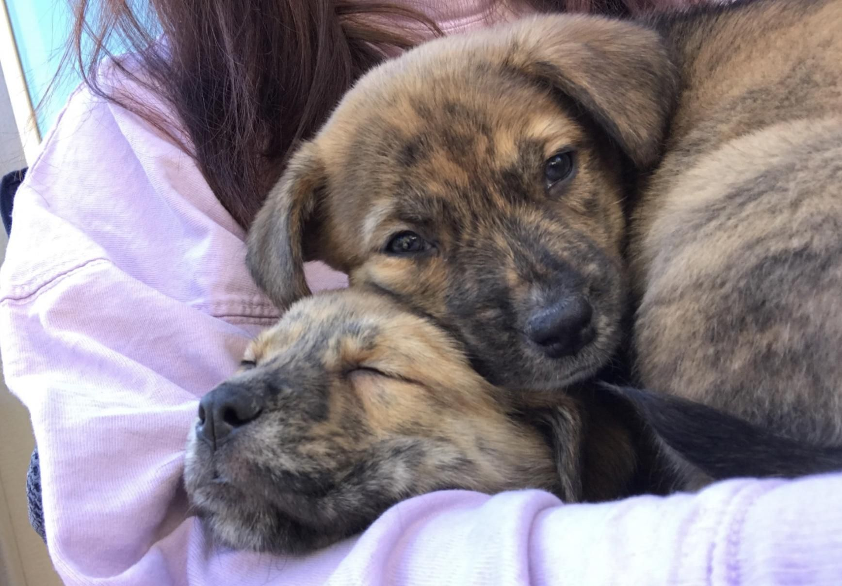 Just Got My First Pupper Australian Shepherd Lab Mix Absolutely Love The Brindle Fur Colorhttps I Re Australian Shepherd Lab Mix Australian Shepherd Brindle