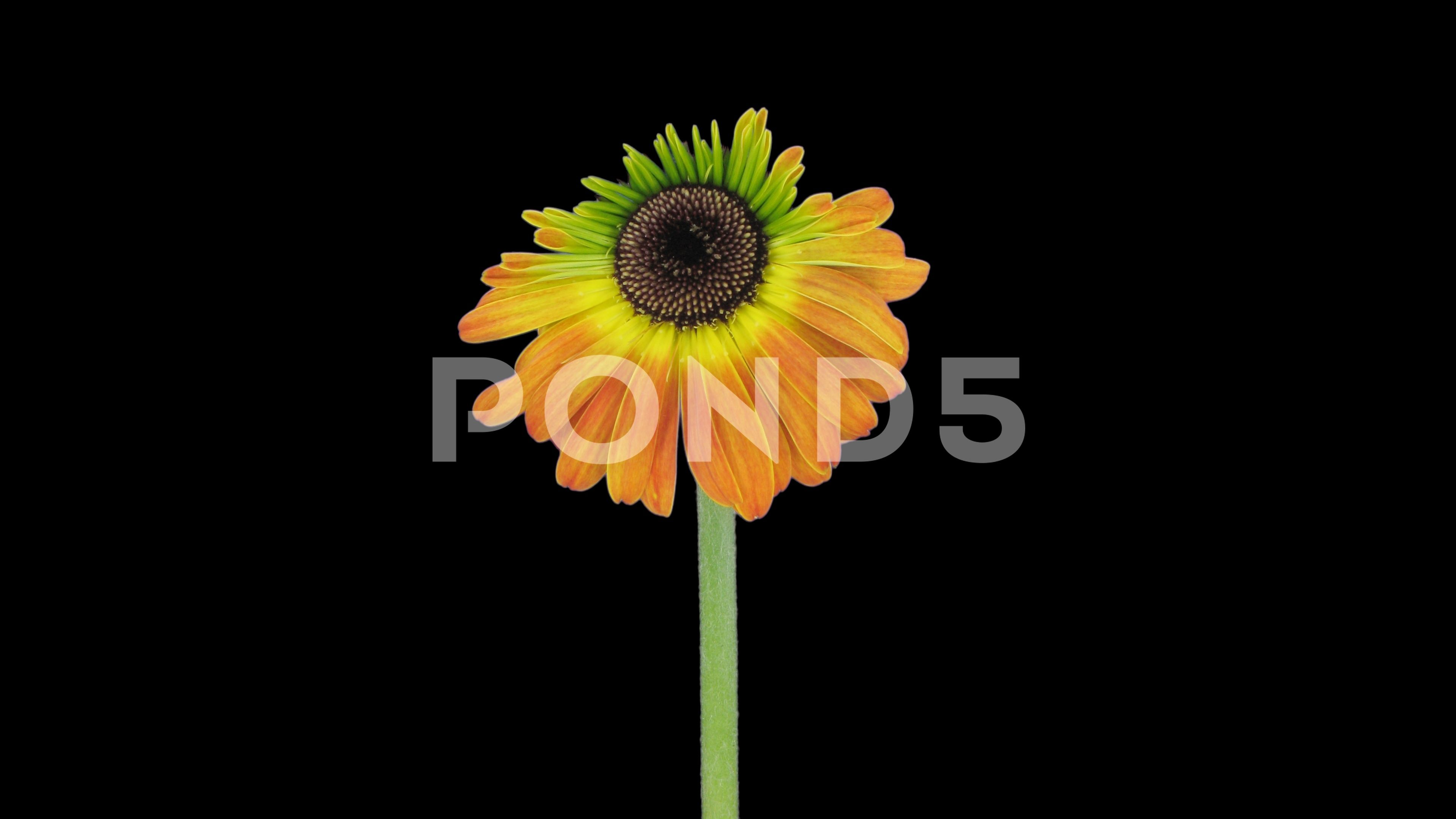 Time Lapse Of Growing And Opening Orange Gerbera Flower 4k With Alpha Channel Stock Footage Opening Orange Growing Time Gerbera Flower Flowers Gerbera