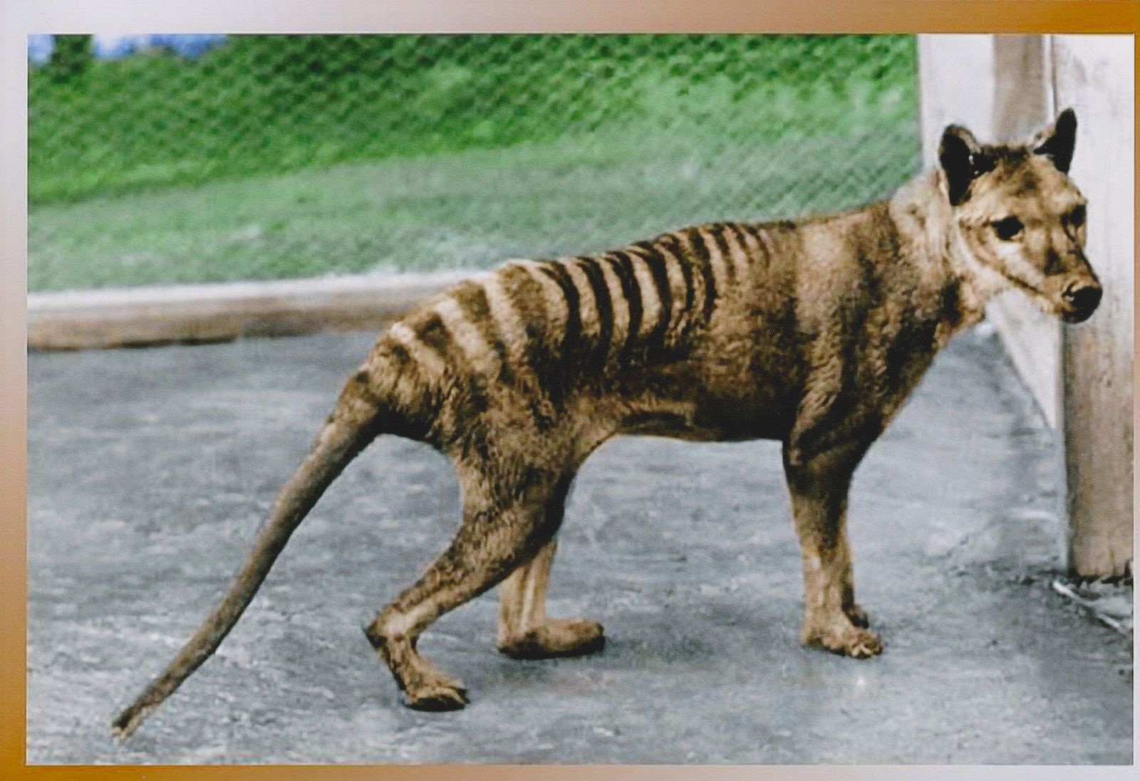 Extinct Tasmanian Tiger Thylacine Animal Australia Postcard Size Photo Print T01 Tasmanian Tiger Extinct Animals Thylacine