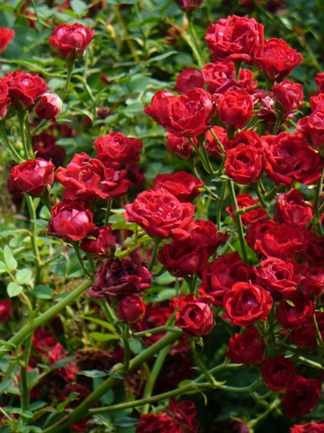 Red Cascade Climbing Rose A Fast Growing Disease And Drought