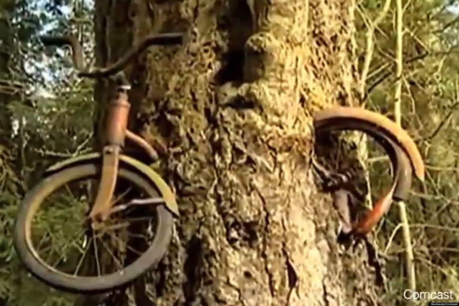 Look Bike Lost 50 Years Ago Swallowed By Tree Tree Story