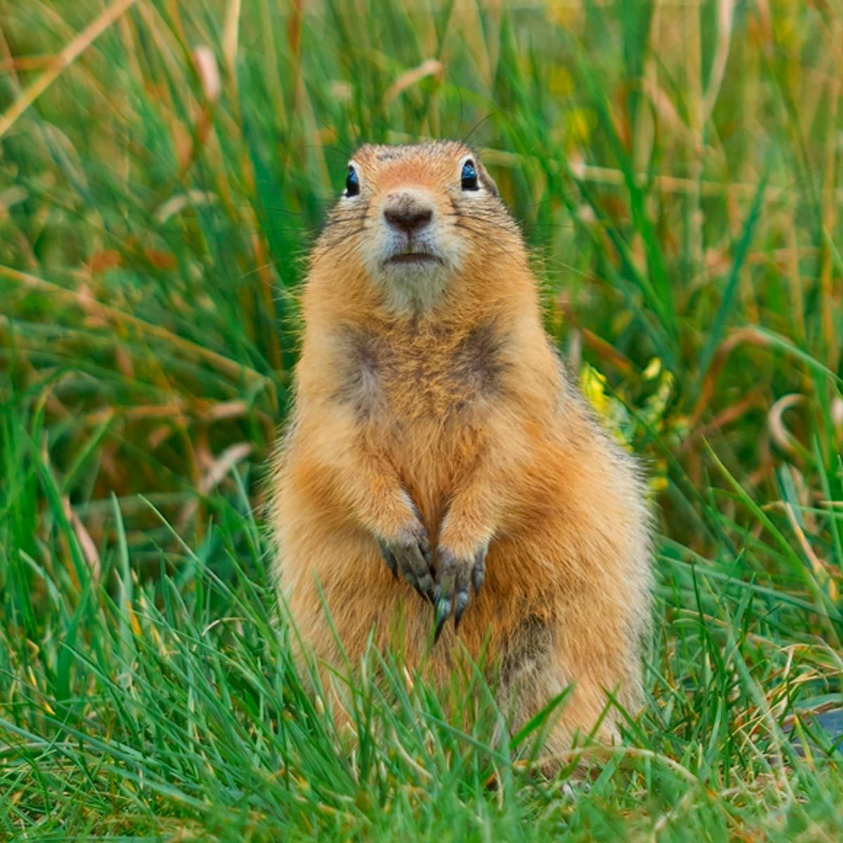 How To Get Rid Of Gophers Getting Rid Of Gophers Gopher Scavenger Animals